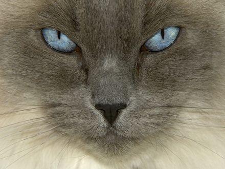 Обои Серый кот с голубыми глазами