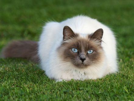 Обои Сиамский кот на траве