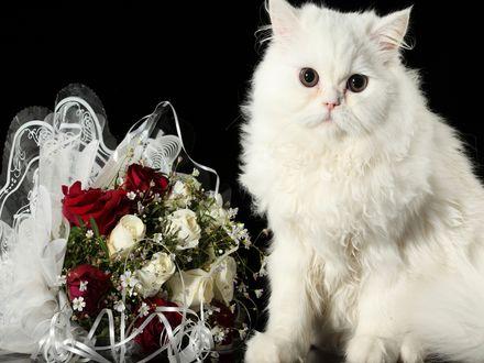 Обои Очаровательный белый кот и рядом букет белых и красных роз
