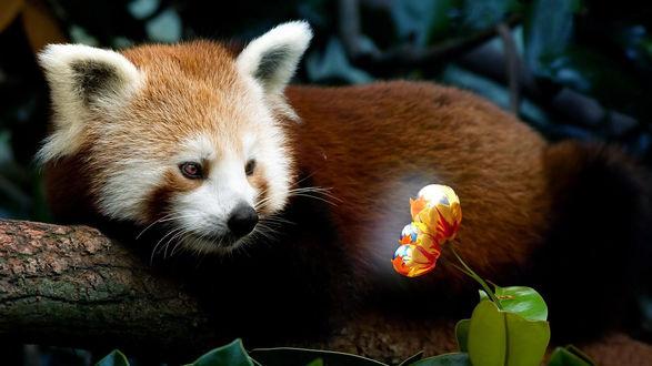 Обои Красная панда смотрит на красивые тюльпаны с логотипом браузера Mozilla Firefox, лежа на бревне