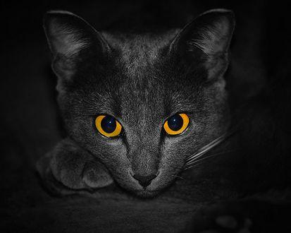 Обои Пристальный взгляд Русской голубой кошки