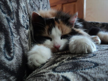 Обои Пятнистый котик спит на диване