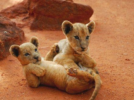 Обои Двоё львят играют друг с другом