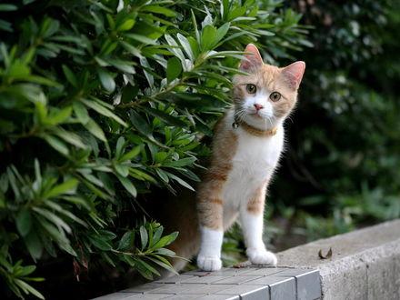 Обои Бело-рыжий котёнок с бубенчиком на ошейнике