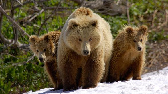 Обои Медведица с медвежатами на прогулке