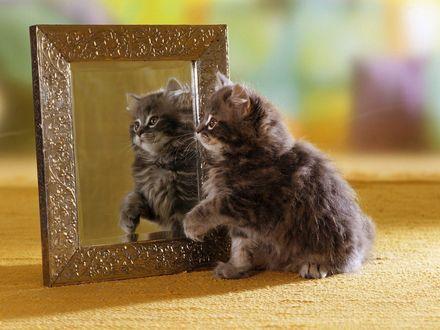 Обои Котёнок смотрится в зеркало