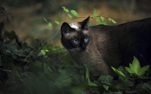 Обои Сиамская кошка в природе