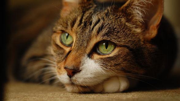 Обои Скучающий кот