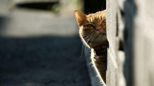 Обои Рыжий кот выглянул из-за угла