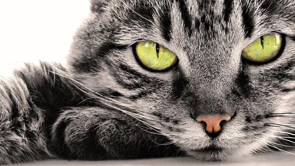 Обои Пристальный взгляд серого кота с зелеными глазами