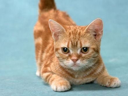 Обои Рыжий кот
