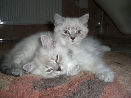 Обои Два дымчатых котёнка