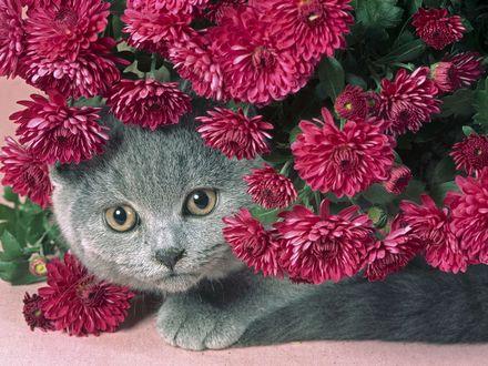 Обои Серый кот выглядывает из красных георгин