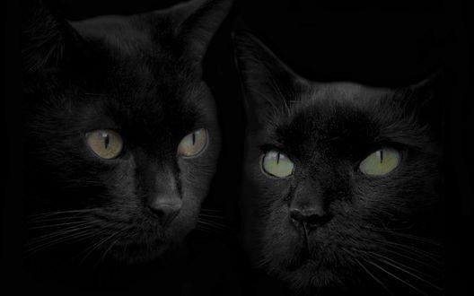 Обои Два чёрных кота