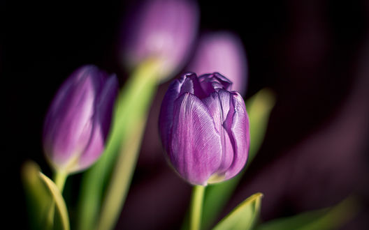Обои Тюльпан