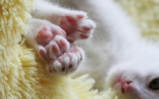 Обои Лапки белого кота