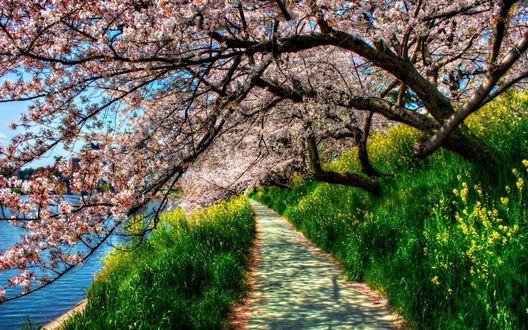 Обои Весеннее цветение сакуры над дорожкой
