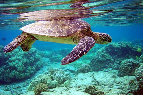 Обои Морская черепаха