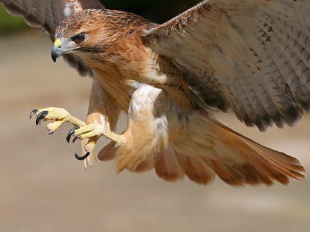 Обои Парящий орел выпустил когти, чтобы схватить добычу