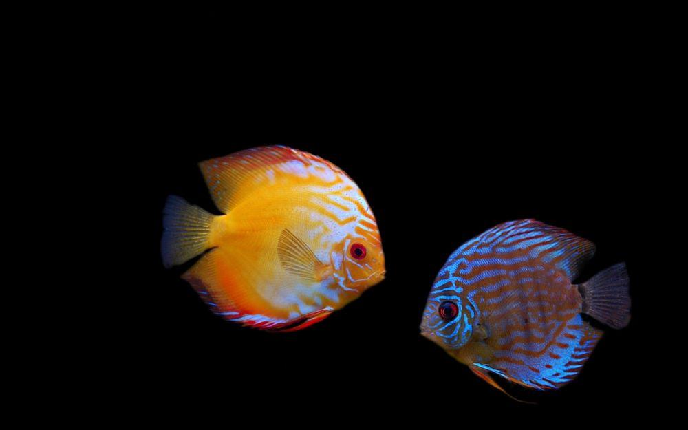 Обои для рабочего стола Две рыбки с красивым окрасом