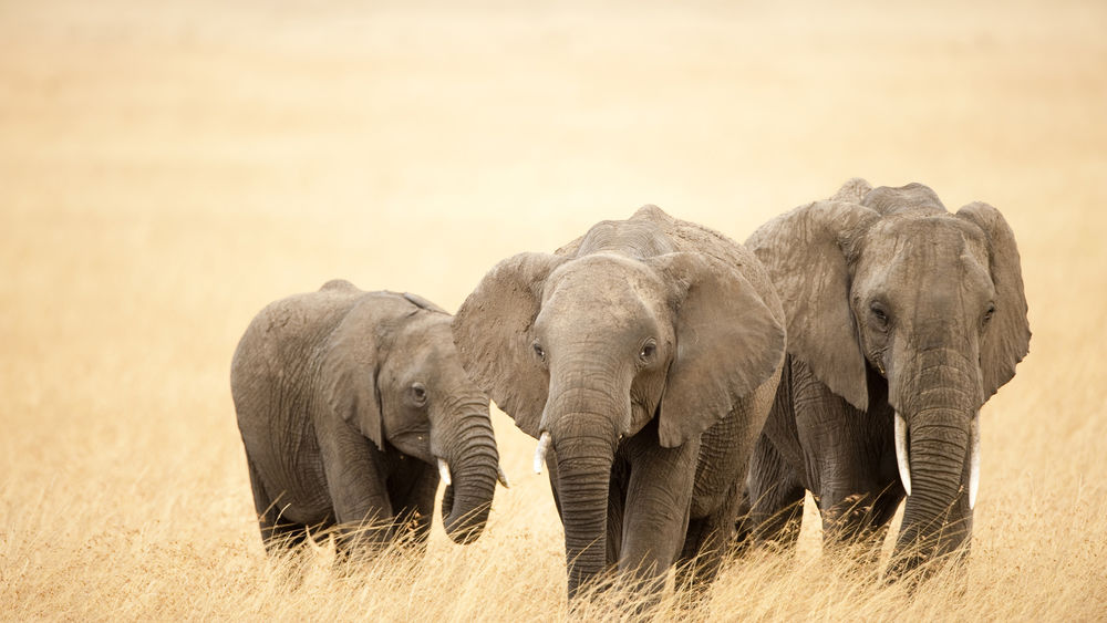Обои для рабочего стола Слоны - самые большие наземные млекопитающие земли