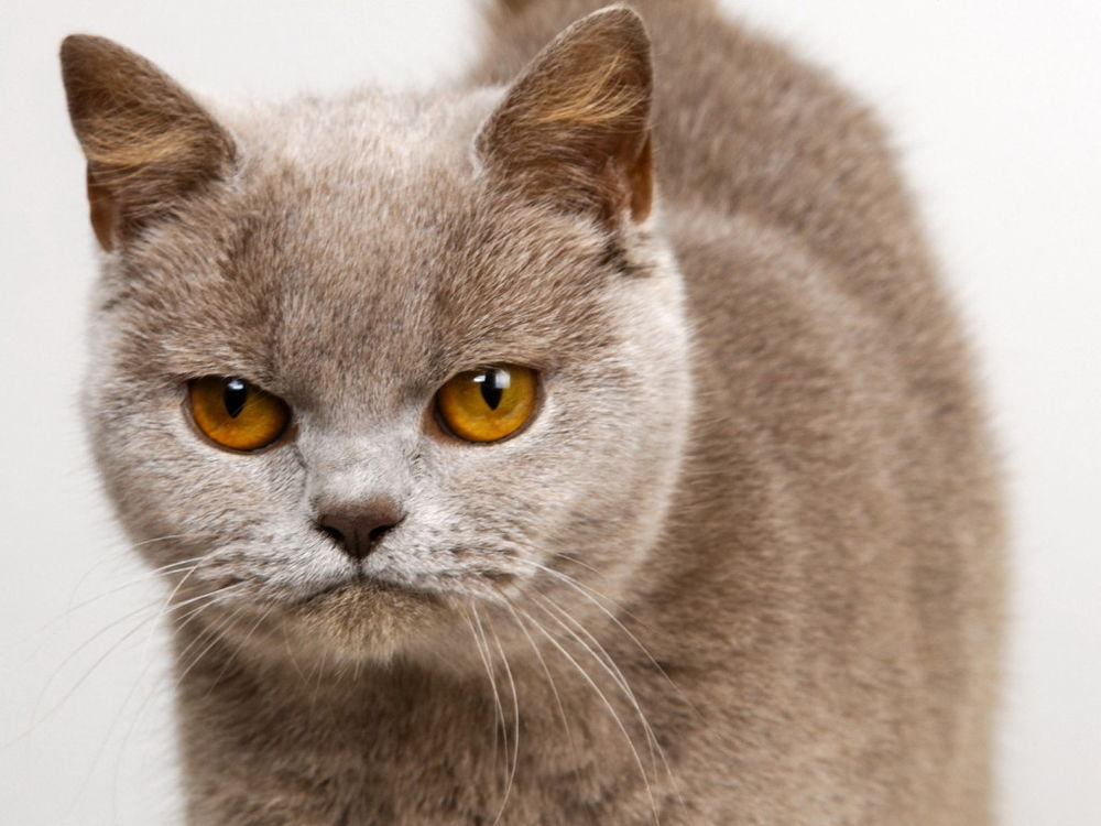 Кот серьезный картинки