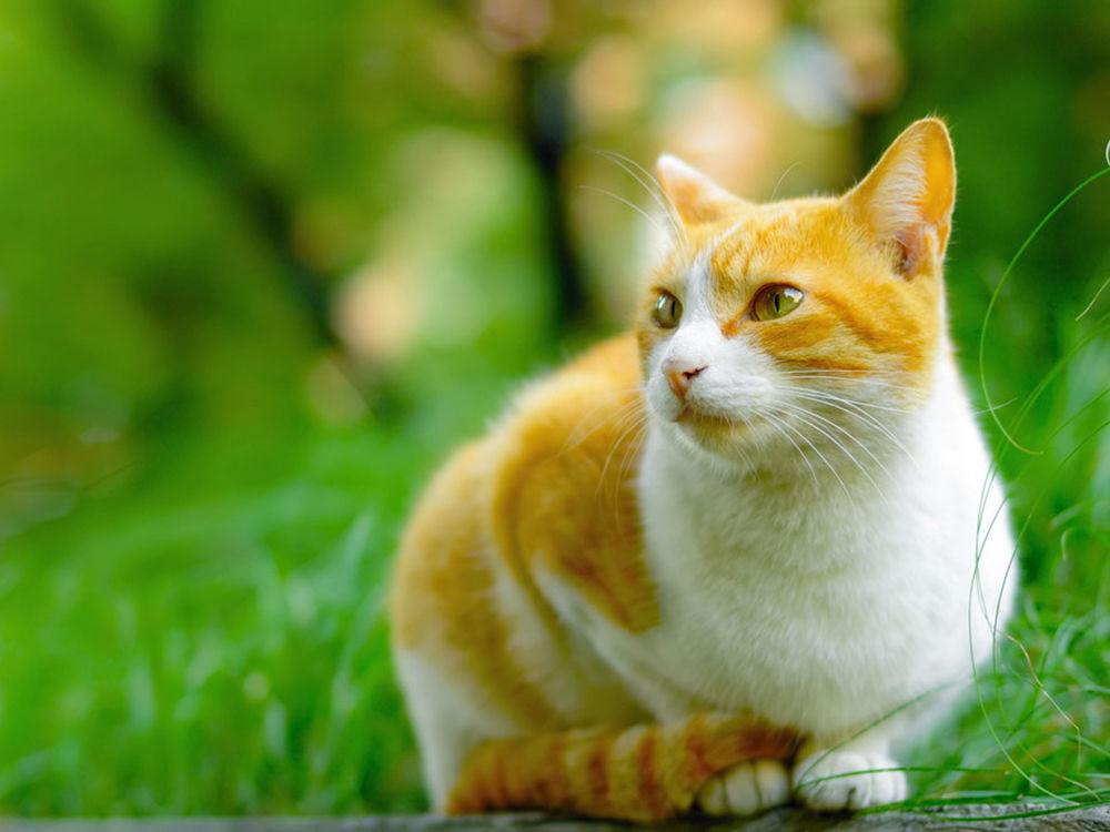 Обои для рабочего стола Бело-рыжая кошка и природная зелень