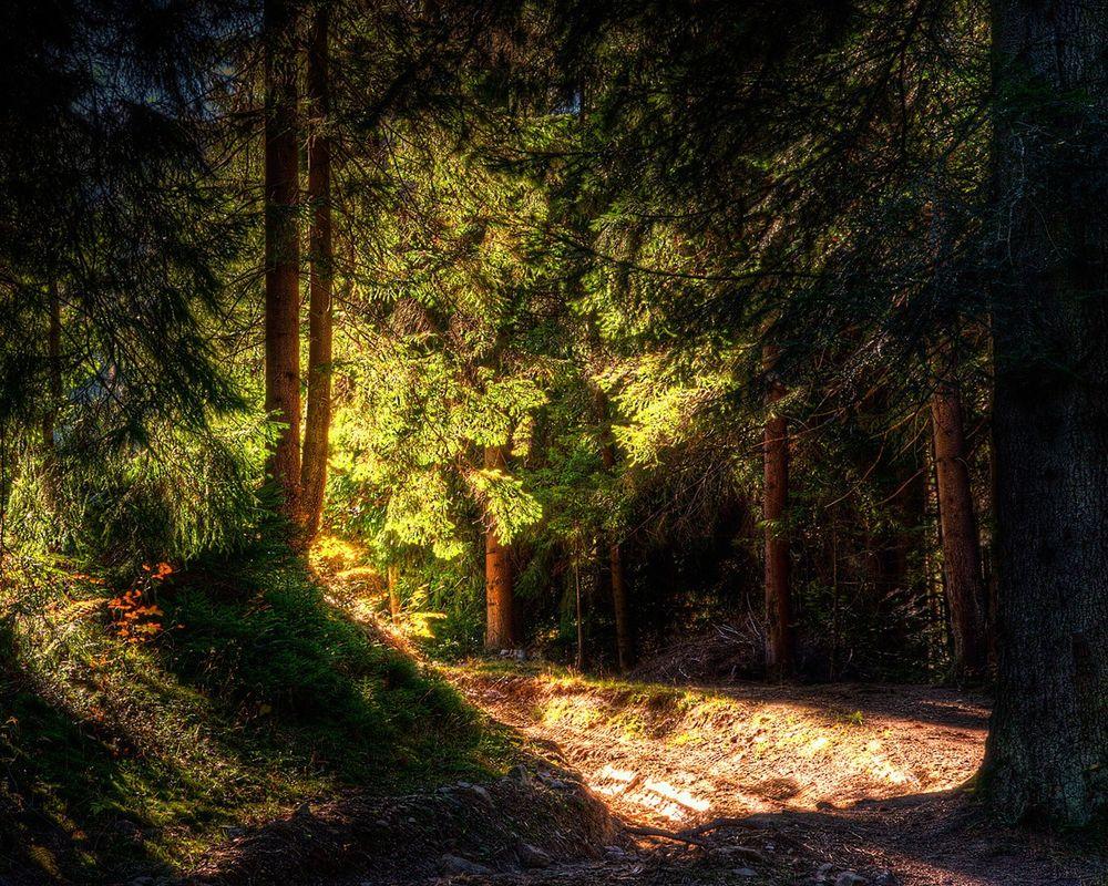 Обои для рабочего стола Сосновый лес в лучах солнца