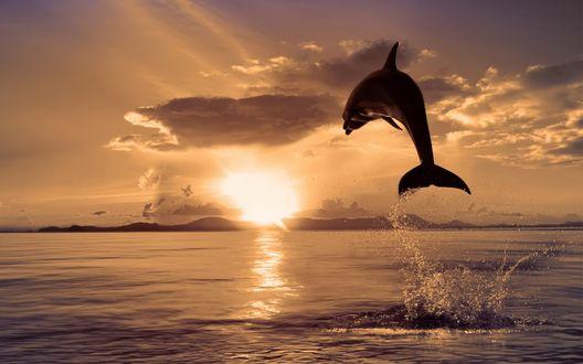 Обои Дельфин выпрыгивает из воды на закате
