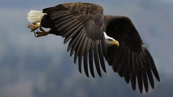 Обои Огромный орёл в полёте