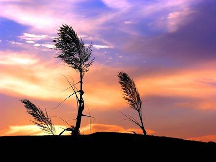 Обои Травяные колоски на закате
