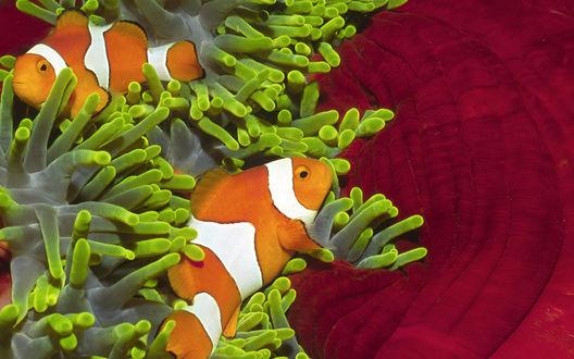 Обои Рыба-клоун среди водорослей