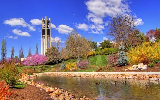 Обои Среди цветущих деревьев течет тихая речушка, в которой плещутся утки. На заднем плане башня с колоколами