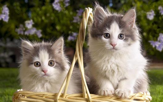 Обои Кошки в лукошке на природе