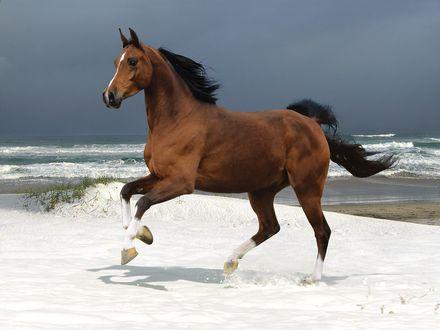 Обои Лошадь бежит по берегу моря