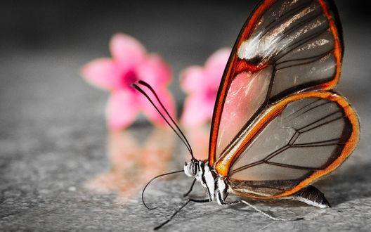 Обои Бабочка со стеклянными крыльями