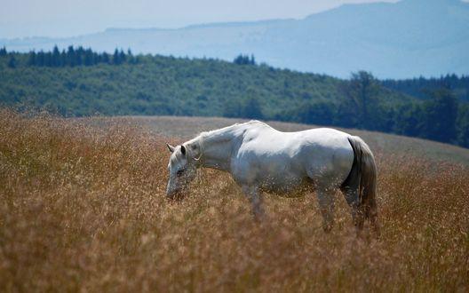 Обои Белый конь пасётся в поле