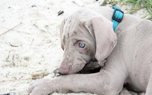 Обои Веймаранер  с голубыми глазами