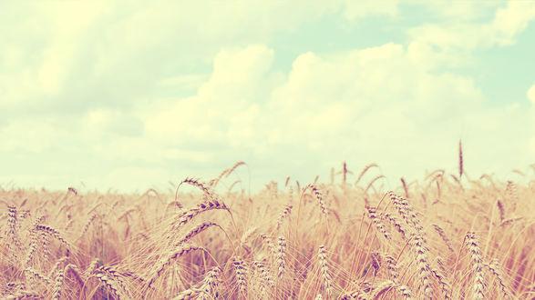 Обои Колосья пшеницы на поле