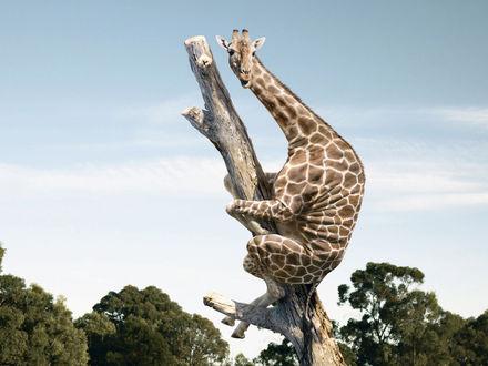Обои Жираф на дереве