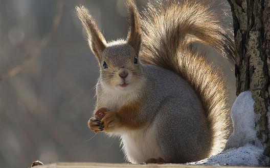 Обои в зимнем лесу белка на дереве держит в лапках орех