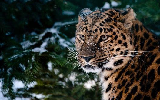 Обои Леопард под снегом