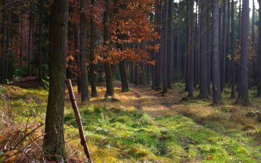 Обои Стройные сосны в осеннем лесу