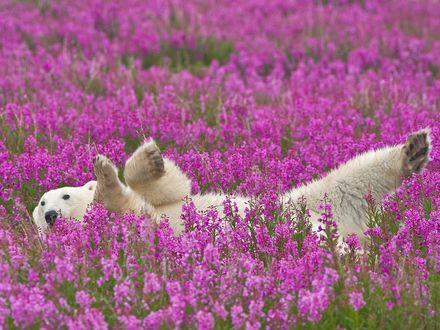 Обои Белый мишка лежит в цветах Иван-Чай