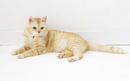 Обои Красивая кошка персикового цвета