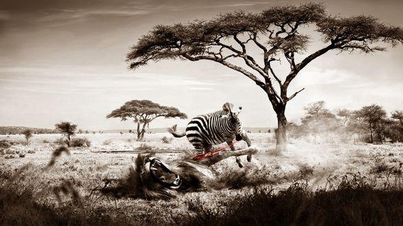 Обои Зебра охотится на льва