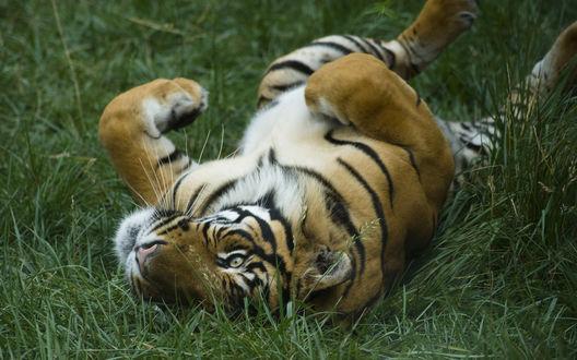 Обои Тигр катается по траве