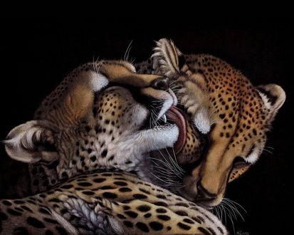 Обои Пара леопардов