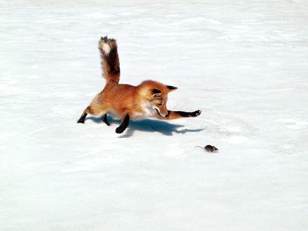 Обои зимняя охота лисы на мышь