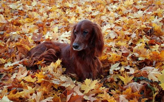 Обои Пёс лежит на осенних листьях